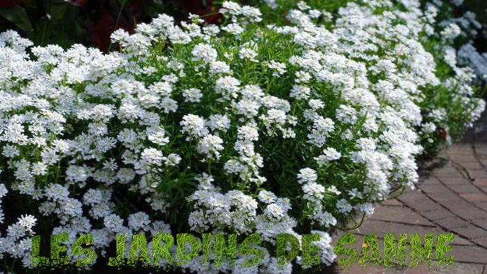 Candytuft-plant: hoe Candytuft te laten groeien