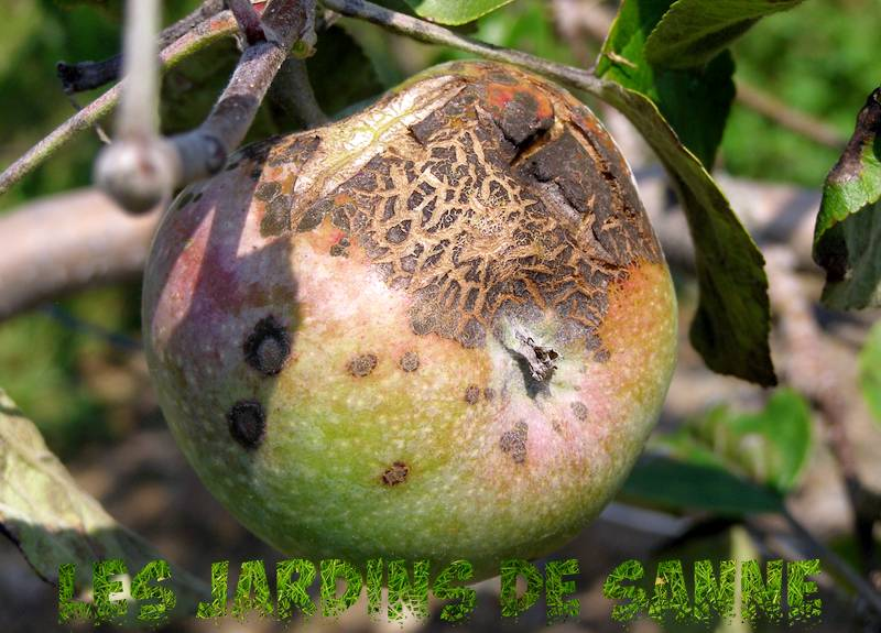 Beheersing van Pear Scab - Diagnose en behandeling van Pear Scab Disease