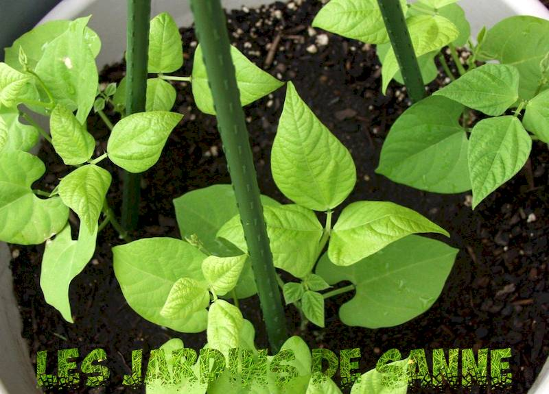 Growing Beans in Containers: How to Care for Potplanten