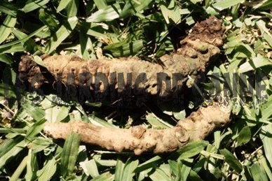 Root Knot Nematode Disease: A Stunted Plant Growth Cause